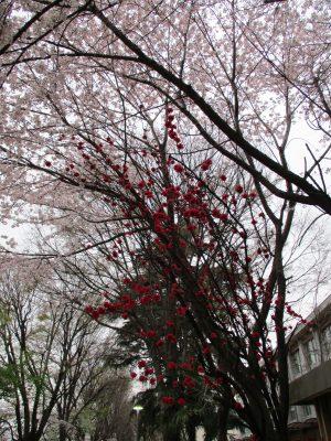 小学校との境の桜