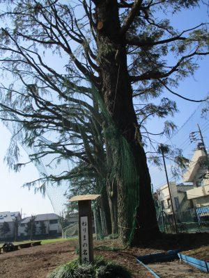ねりまの名木は今も校庭で生徒らを見守っている