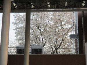 母校の桜、美しく・・・正面玄関より中庭方面を仰ぎ見ただけでも、桜・桜・桜。